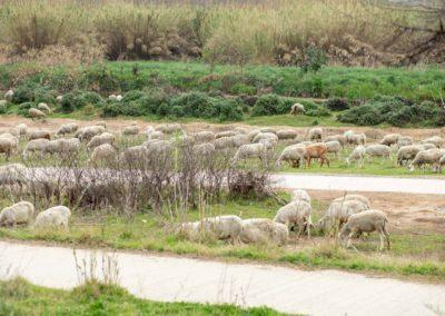 Ovelles pasturant pel Delta de Llobregat i pesca de fons
