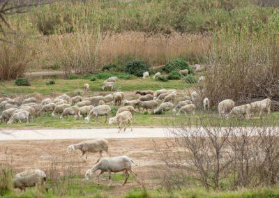 Ovelles pasturant pel Delta de Llobregat