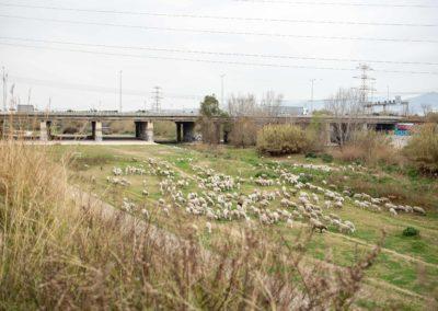 Ovelles pasturant pel Delta de Llobregat amb pont autopista de fons