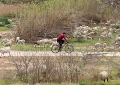 Bicicleta pel Delta de Llobregat envoltada d'ovelles