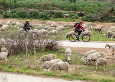 Dues bicicletes pel Delta de Llobregat envoltades d'ovelles