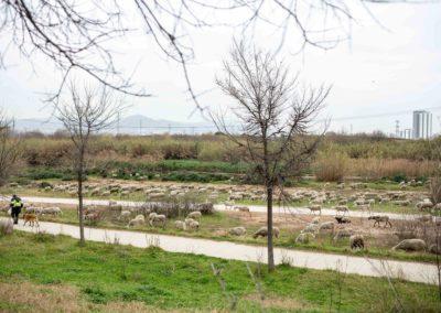 Ovelles pasturant pel Delta de Llobregat amb el pastor